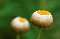 Everlasting flower, Helichrysum.