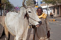 Man with holy zebu cow in street at Mathura, Uttar Pradesh, India