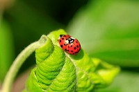The ladybug life cycle starts with mom and dad ladybug mating  The ladybugs pictured are mating  Ladybugs reproduce sexually  Each species of ladybug ...