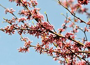 Eastern red bud tree