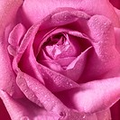 wet pink rose flower closeup