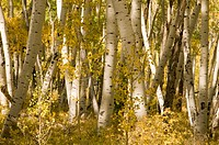 USA, Colorado, Aspen Trees in Autumn