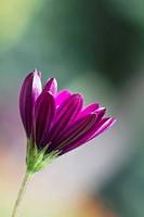 Osteospermum cultivar, Osteospermum, Purple subject.