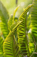 Asplenium scolopendrium, Fern, Hart´s tongue fern, Green subject.