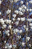 Magnolia x soulangeana ´Alba Superba´, Magnolia, White subject.