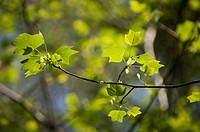 Liriodendron tulipifera, Tulip tree, Green subject.
