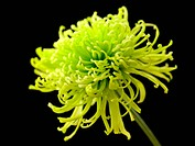 Chrysanthemum ´Shamrock´, Chrysanthemum, Green subject, Black background.