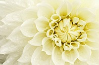 Dahlia cultivar, Dahlia, Cream subject.