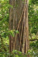 Vines wrap themselves around a tree in the Chiriqui Highlands, Panama