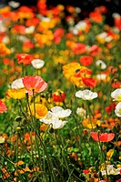 Poppy flowers, Italy, Alto Adige, South Tyrol, Meran