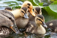 Netherlands, ´s_Graveland, young ducks and mother in pond