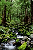 Usa, Washington, Olympic National Park, Forest Scene With Creek In Soleduck Valley