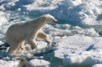 Female Polar bear Ursus maritimus on pack ice, Svalbard Archipelago, Barents Sea, Norway