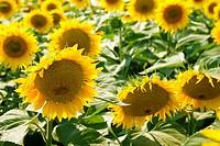 Ripe bright sunflowers growing on a farmer field i
