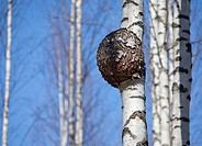 Burr on birch, betula, tree trunk  Location Iisvesi Finland Scandinavia Europe