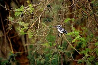 uganda, queen elizabeth national park, kazinga channel, pied kingfisher