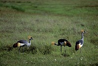 Tanzania, Ngorongoro Crater, Crowned Cranes Feeding On Grass
