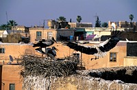 Morocco, Marrakech, Remains Of Badi Palace, European Storks, Nesting
