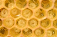 Honey bees (Apis mellifera), larvae, worker bees, 5-8 days, in honeycomb cells