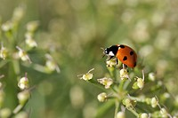 France, Marseille, Ladybug on flowers