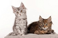 Maine Coon. Two kitten sitting and lying on a cushion. Studio picture against a white background