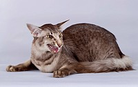 Oriental Shorthair. Lying cat, snarling. Studio picture against a gray background