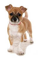 Chihuahua_mix. Adult standing. Studio picture against a white background