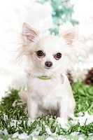 Chihuahua. Adult white dog sitting on snowy grass. Studio picture against a white background