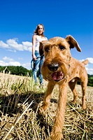 Irish Terrier on lead standing with a woman in a stubble field