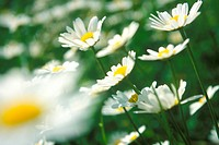 Daisies in field, close_up