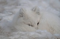 Canada, Yukon Wildlife Preserve, Arctic fox alopex lagopus in snow