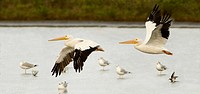 American White Pelican Pelecanus erythrorhynchos in flight