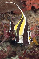 An exotic Moorish Idol fish on a coral reef