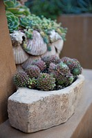 Sempervivum succulents growing in a stone pot