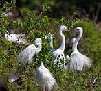 Great Egrets mating behavior at a rookery