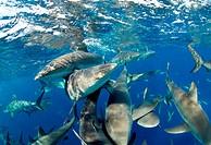 Caribbean Reef Sharks Carcharhinus perezi