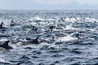 South Africa , Gansbaii , Seal Island , Long-beaked common dolphin Delphinus capensis