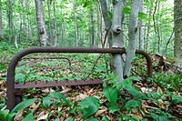 Young beech trees growing around a rusted bedframe near Mount Blue in Kinsman Notch of the White Mountains, New Hampshire USA  This bedframe is possib...