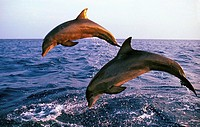 Bottlenose Dolphin, tursiops truncatus, Adults jumping, Coast near Honduras