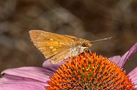Sachem Skipper Feeding on Purple Cone Flower, Outer Banks, Corolla, North Carolina United States