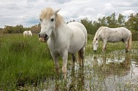 Camargue horses foraging in a flooded wetland, Camargue, France