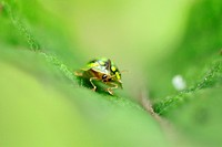 Green color of ladybird, Borneo