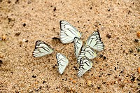 White color butterfly of borneo