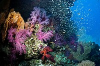 Coral reef scenery with soft corals Dendronephthya sp and Pygmy sweepers Parapriacanthus guentheri  Egypt, Red Sea