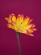 Chrysanthemum ´Roma´, Chrysanthemum
