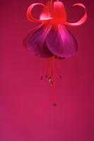 Fuchsia ´Gruss aus dem Bodethal´, Fuchsia