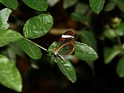 Glass_wing Butterfly