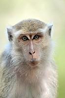 Long-tailed Macaque Macaca fascicularis, Tanjung Puting National Park, Province Kalimantan, Borneo, Indonesia