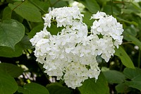 Hydrangea (Hydrangea macrophylla), Westfalenpark, Dortmund, North Rhine-Westphalia, Germany, Europe