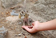 Hand feeding Siberian chipmunk, Common chipmunk (Eutamias sibiricus), Arshan, Tunkinsky District, Republic of Buryatia, Siberia, Russia, Eurasia